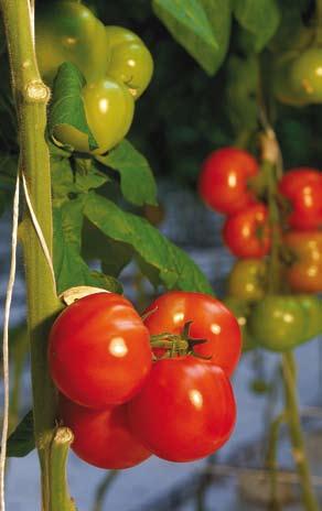 tomate_minaret_f1